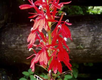 photo of Lobelia cardinalis