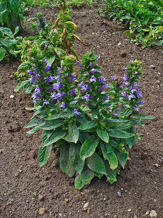Lobelia Siphilitica Jersey Friendly Yards