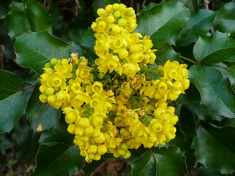 Mahonia aquifolium jersey friendly yards plant details mightylinksfo