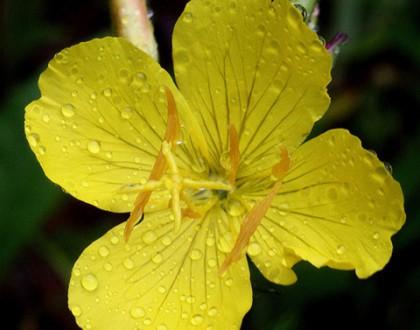 photo of Oenothera fruticosa