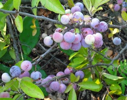 photo of Prunus maritima