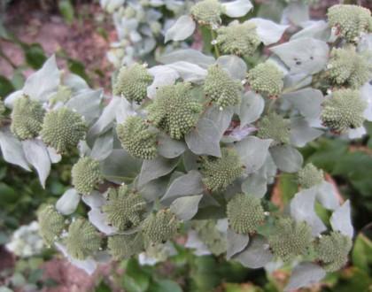 photo of Pycnanthemum muticum