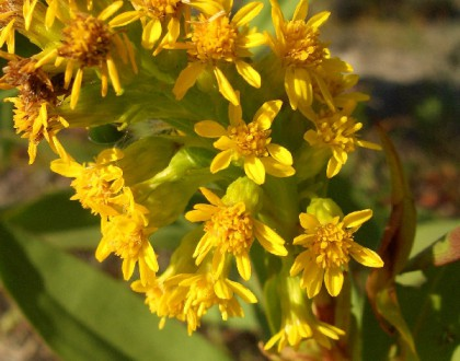 photo of Solidago sempervirens