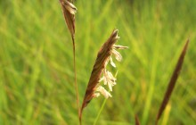 photo of Spartina patens