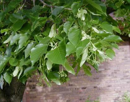 Tilia Americana Flower