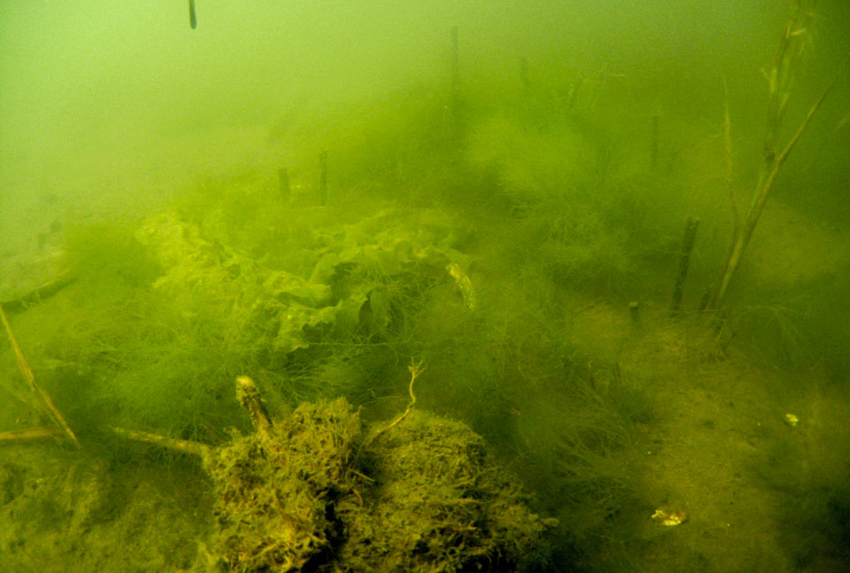 An underwater photo in Barnegat Bay shows heavy algae growth.