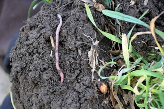 Earthworm in healthy soil.