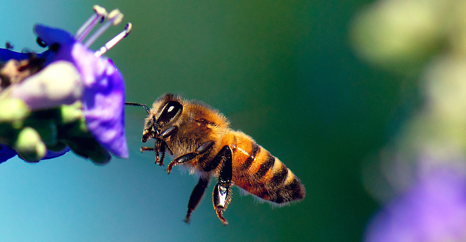 Honey bees are responsible for pollination of our major food crops.
