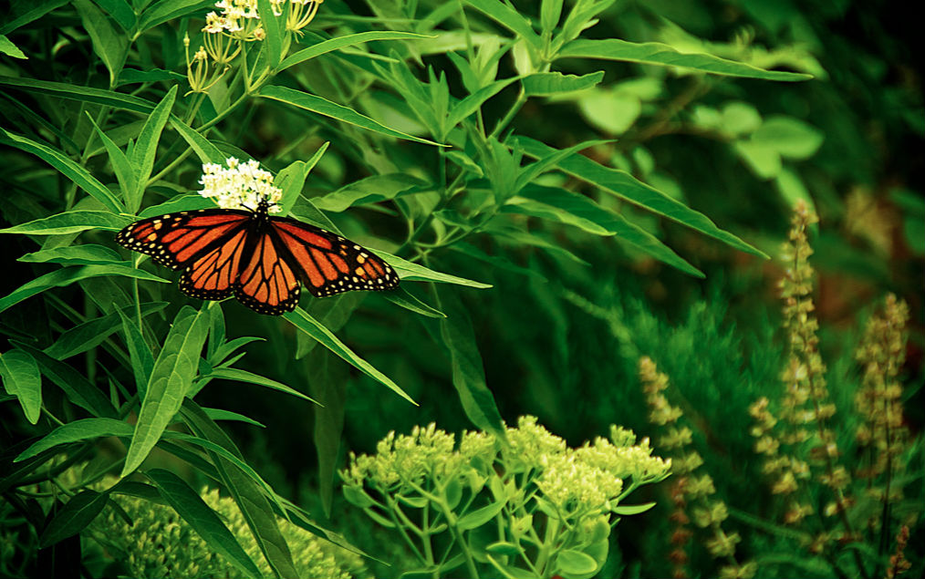 A monarch butterfly finds food in a backyard habitat.