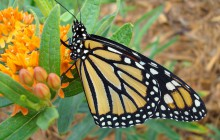 A monarch butterfly feeds on Butterfly Weed