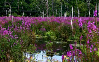 Purple-Loosestrife-invadiing-wetlands
