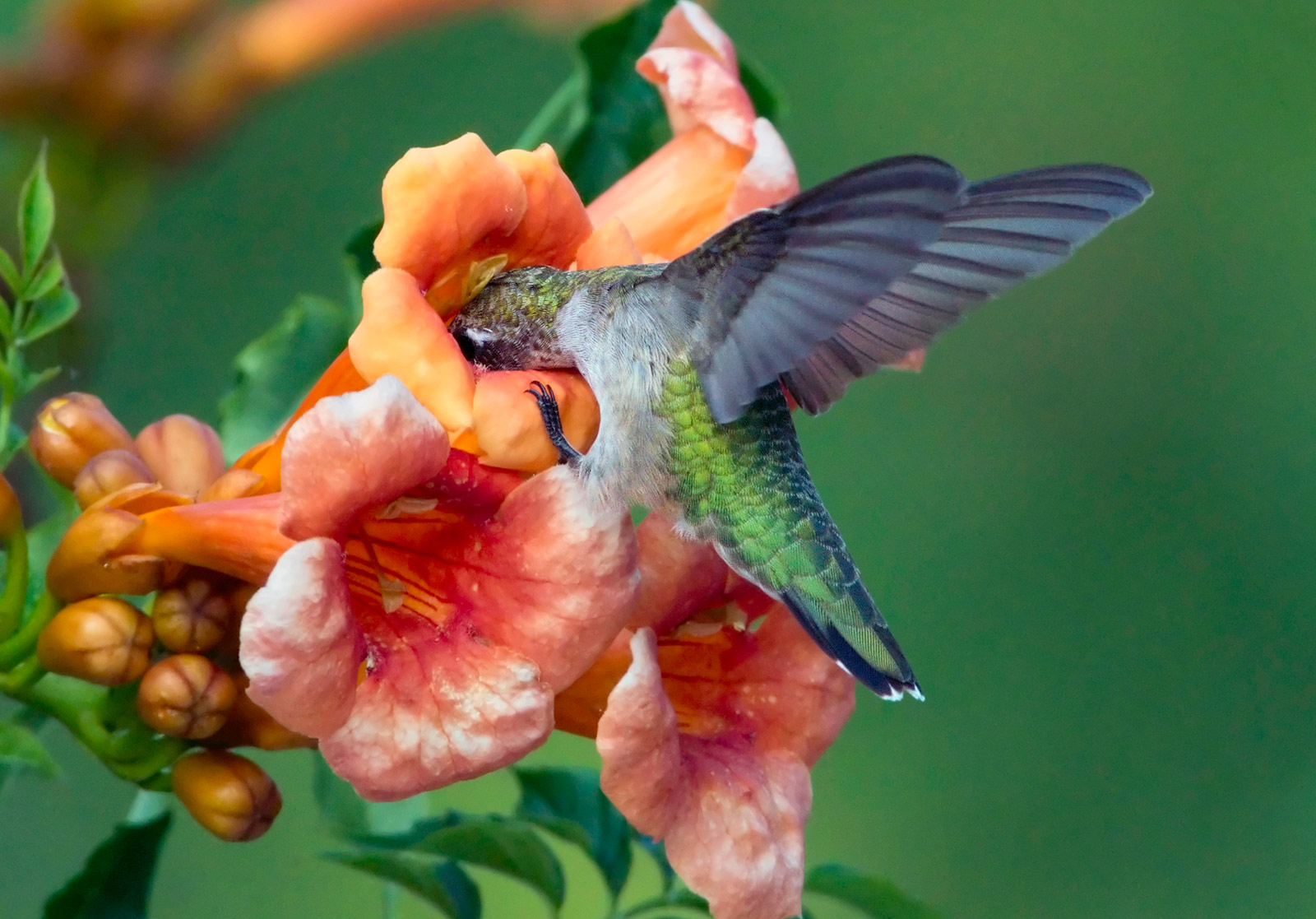 photo of Ruby throated hummingbird.