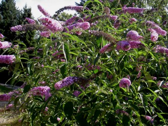 Butterfly bush is a popular landscaping plant but is considered an invasive, nuisance plant. © Steiermark Sommerflieder-Strauch