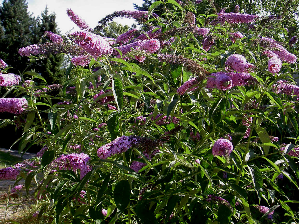 Butterfly bush is a popular landscaping plant but is considered an  invasive, nuisance plant. - Avoid Invasive Plants - Jersey-Friendly Yards