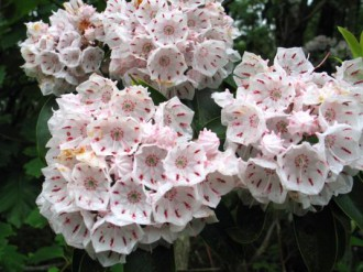 Mountain laurel thrives in Pine Barrens soils.